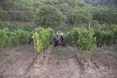 Vendage chardon 52 - Photo of Malras