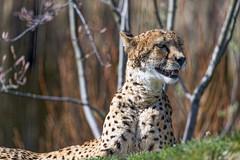 First cheetah portrait
