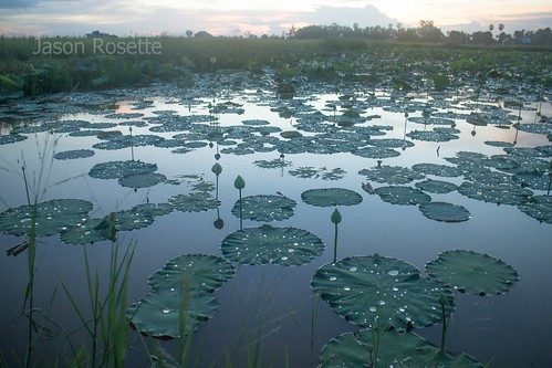 Pond of Lilies and Lotuses After the Rain in Cambodia