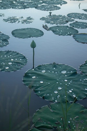 Pond of Lilies and Lotuses After the Rain in Cambodia (vertical)