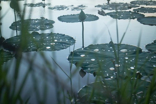 Pond of Lilies and Lotuses After the Rain in Cambodia (#2)