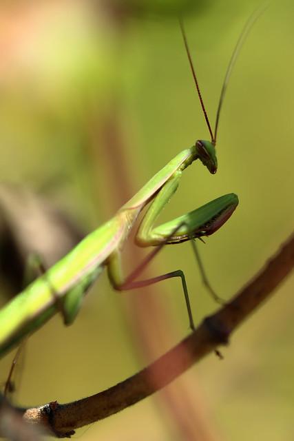 Regard en coin - Mantis religiosa