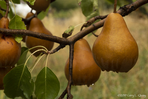 Rainy Day Pears, Odell, Oregon