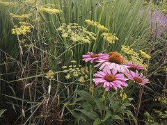 Coneflowers in Coombe Wood Gardens