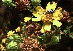 H20130914-9909—Deinandra minthornii  (Syn Hemizonia minthornii) w Diabrotica undecimpunctata undecimpunctata—RPBG—DxO