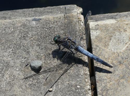 Black-tailed Skimmer (Orthetrum cancellatum)