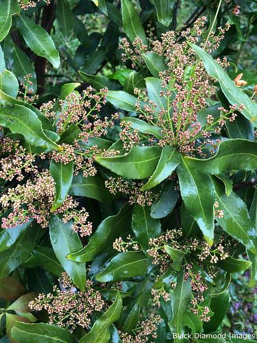Denhamia celastroides - Orange Boxwood