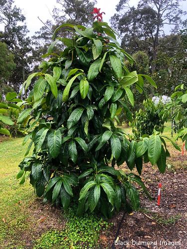 Syzygium megacarpum - Giant Lau Lau, Pacific Palms, NSW