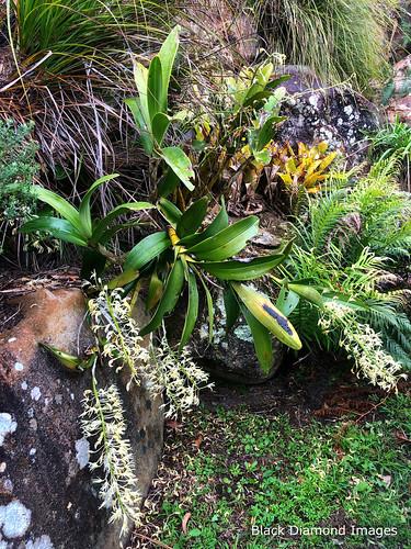 Thelychiton speciosus (syn. Dendrobium speciosum) - Rock Orchid