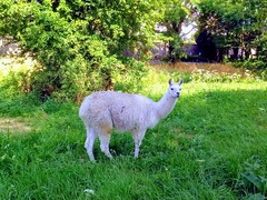 UN LAMA - Photo of Sallenelles