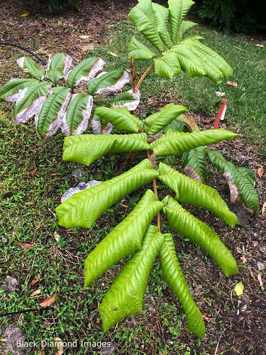 Diploglottis bernieana - Bernie's Tamarind, Giant Leaved Tamarind