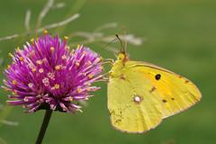 Papillons / Butterfly / Butterflies