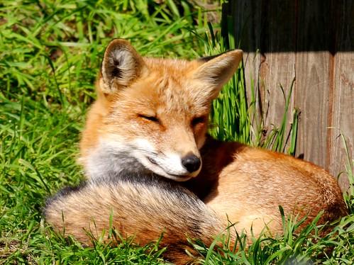 Füchslein / Little Fox