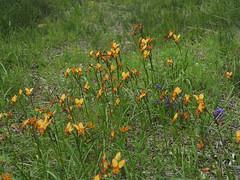 Cloud of Donkey Orchids! - Bibbulmun Track, Nullaki Peninsula, Western Australia