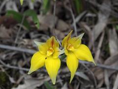 Cowslip Orchids - Bibbulmun Track, Nullaki Peninsula, Western Australia