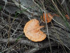 Shelf Fungus - Bibbulmun Track, Nullaki Peninsula, Western Australia