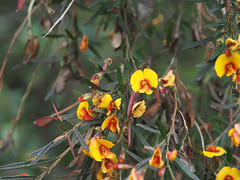 Wildflowers - Bibbulmun Track, Nullaki Peninsula, Western Australia
