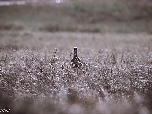 Courlis dans les herbes-2