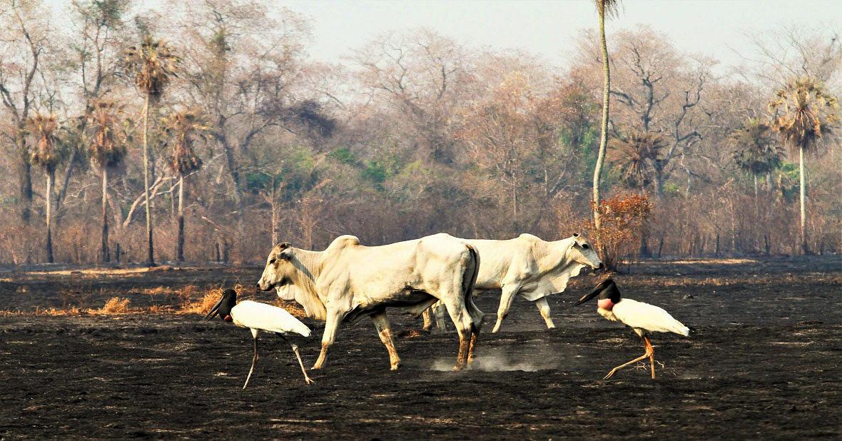 Campeões de desmatamento e queimadas na Amazônia são dominados pelo gado e pela soja