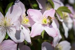 Honigbiene an Berg-Waldrebe