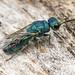 Cuckoo Wasp (Chrysididae) 119z-6230371