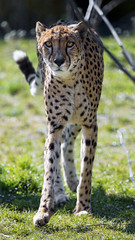 Cheetah standing in the grass