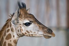 Close portrait of the young giraffe