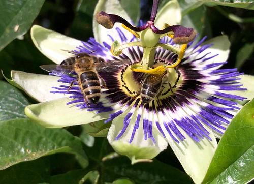 Bijen op een Passiebloem.