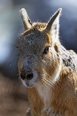 Another mara portrait