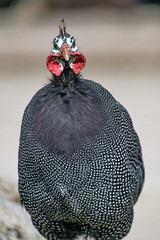Guinea fowl from the front