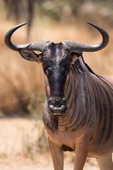 Safari Selous - extended cut-148