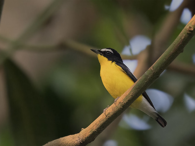 Yellow-rumped Flycatcher _ Bidadari