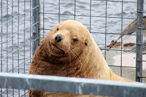 Alaska, Kodiak, steller sea lions IMG_3623