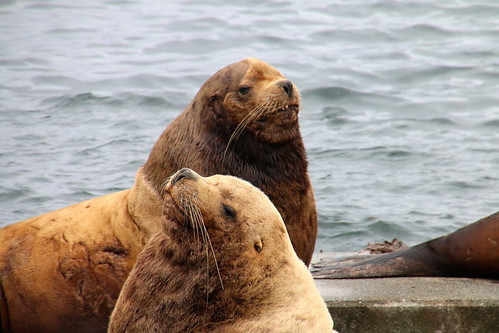 Alaska, Kodiak, steller sea lions IMG_3626