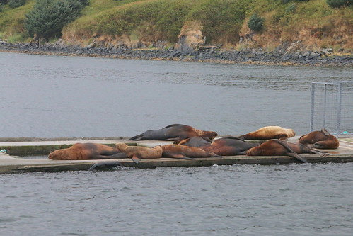Alaska, Kodiak, steller sea lions IMG_3620