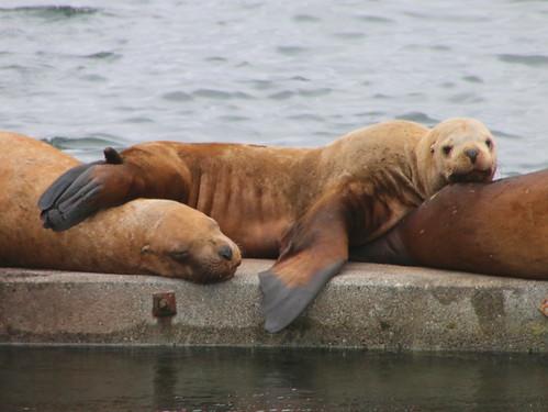 Alaska, Kodiak, steller sea lions IMG_3631