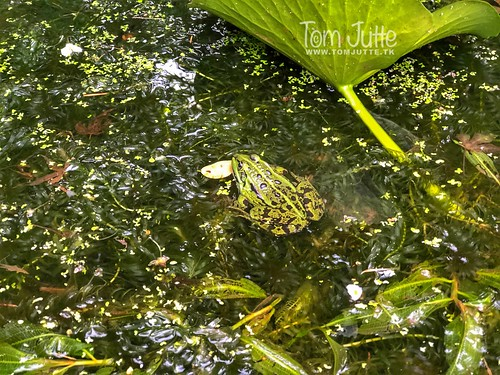 Green frog in pond, Zeist, Netherlands - 3022