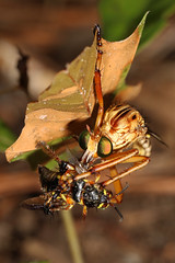 Robber Fly - Diogmites species, Solon Dixon Forestry Center, Andalusia, Alabama