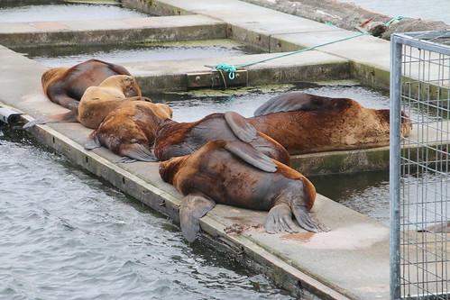 Alaska, Kodiak, steller sea lions IMG_3622