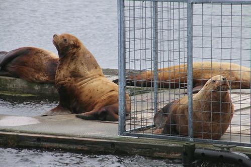 Alaska, Kodiak, steller sea lions IMG_3621