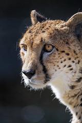 Nice cheetah portrait