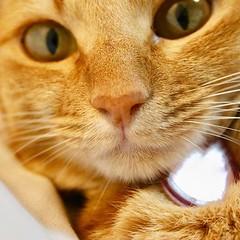 Cat face #closeup #furry face #Tokyo #日本 #東京 #Japan #cat #猫 #ネコ #ねこ #Katze #chat #gatto #gato #feles #кошка #KAT #gato #قط #고양이 #חתול #ឆ្មា #kočka #kass #گربه #муур #pisică