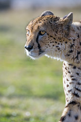 Another cheetah profile