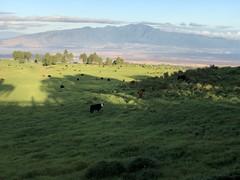 Maui Cattle
