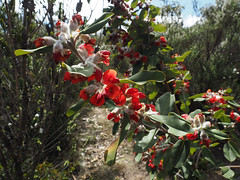 Wildflowers - Bluff Knoll, Stirling Ranges, Western Australia