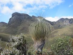 Grass Tree and Peak - Bluff Knoll, Stirling Ranges, Western Australia