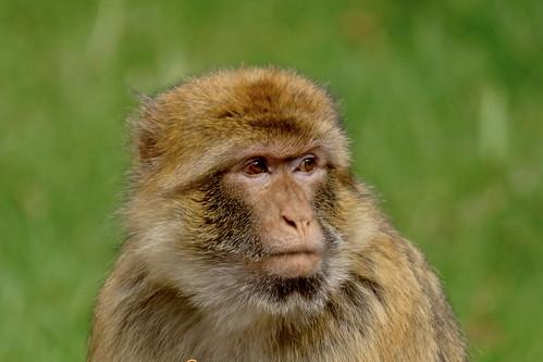 Macaca sylvanus  ofte berberaap