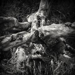 Limbs of a Dead Tree B&W