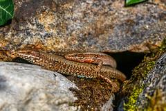 Lizard spooning