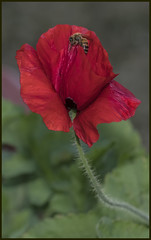 Remembrance Poppy opening soon for bee=
